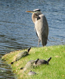 heron with turtles